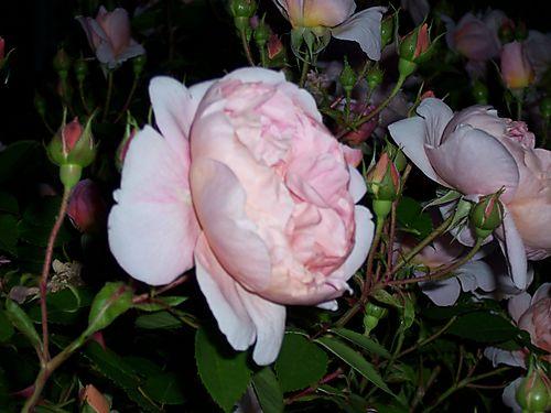 Pinkroses