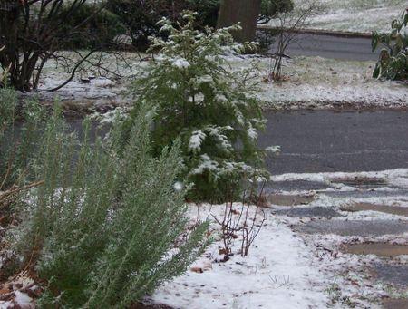 Snowonrosemary