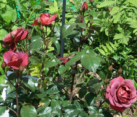 Roseshc