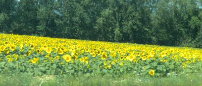Fieldofsunflowers
