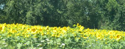 Moresunflowers