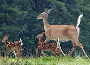 DeerRunning
