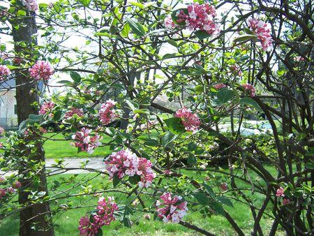 Pink lilacs1