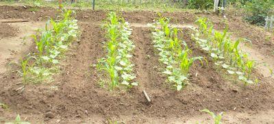 Cornbeans