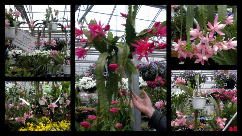 Cactusorchids
