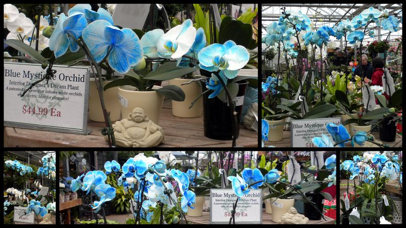 Blueorchid