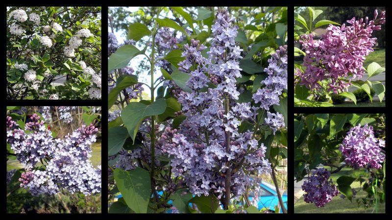 Lilacs2011