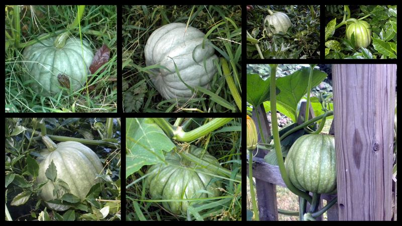 Volunteer pumpkins 1