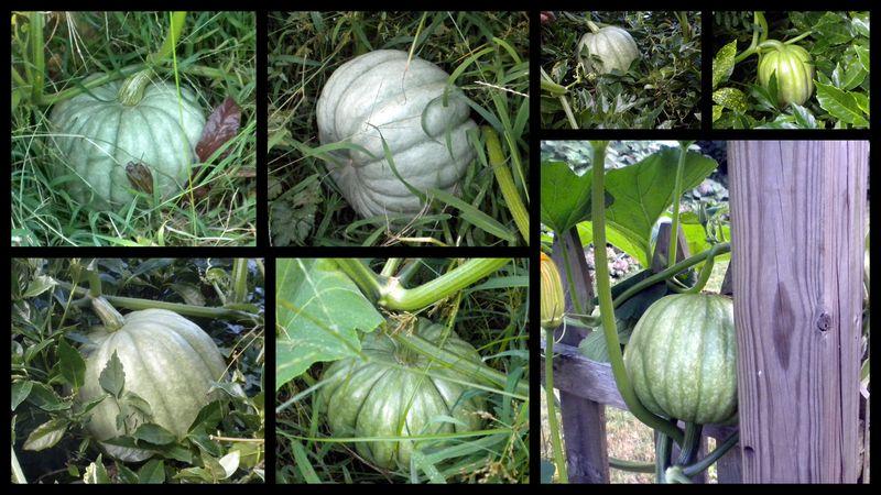 Volunteer pumpkins 1