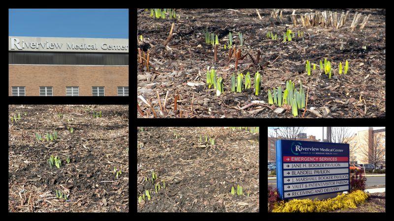 Riverview daffodils